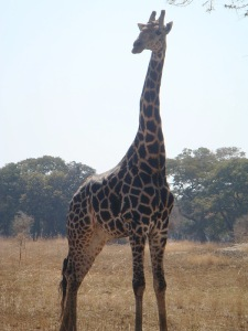 An older giraffe with darker spots