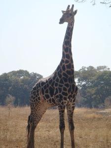 An older giraffe with darker spots