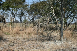 Private Game parks have to take their Elephants to designated areas to eat the trees so they can monitor the losses.