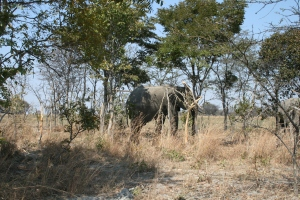 Note the damage done to the trees by the Elephants.