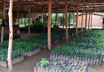 Mwaya-fruit-tree-nursery-Ripple-Africa