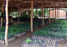 Mwaya-fruit-tree-nursery-Ripple-Africa